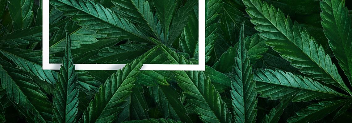 marijuana leaves highlighted with focus area