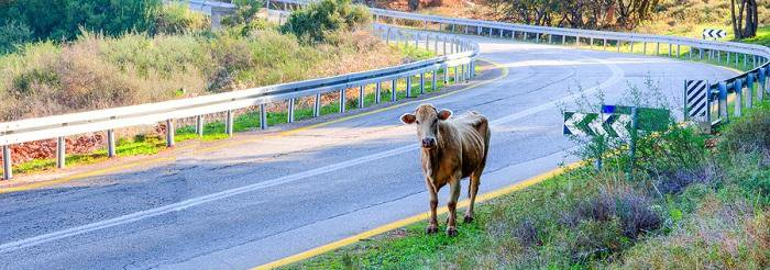Cow on the side of a street with guard rails on either side