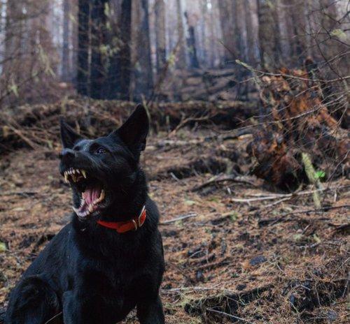 Dog showing its teeth
