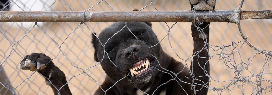 Dog Bite Pitbull