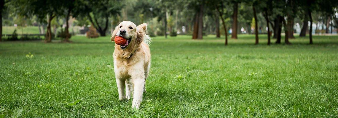 A golden retriever carries a ball through a dog park