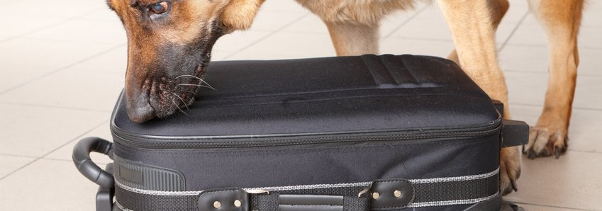 Dog Smelling a Black Suitcase