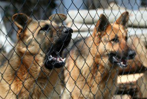 Two German Shepherds Behind a Fence